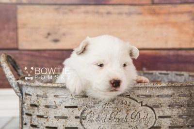 puppy68 week3 BowTiePomsky.com Bowtie Pomsky Puppy For Sale Husky Pomeranian Mini Dog Spokane WA Breeder Blue Eyes Pomskies web4