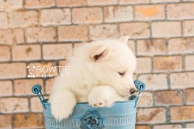 puppy68 week5 BowTiePomsky.com Bowtie Pomsky Puppy For Sale Husky Pomeranian Mini Dog Spokane WA Breeder Blue Eyes Pomskies web4