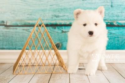 puppy68 week5 BowTiePomsky.com Bowtie Pomsky Puppy For Sale Husky Pomeranian Mini Dog Spokane WA Breeder Blue Eyes Pomskies web6