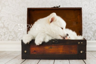 puppy68 week7 BowTiePomsky.com Bowtie Pomsky Puppy For Sale Husky Pomeranian Mini Dog Spokane WA Breeder Blue Eyes Pomskies web5
