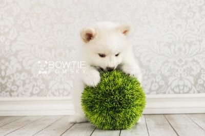 puppy68 week7 BowTiePomsky.com Bowtie Pomsky Puppy For Sale Husky Pomeranian Mini Dog Spokane WA Breeder Blue Eyes Pomskies web6