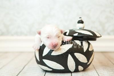 puppy69 week1 BowTiePomsky.com Bowtie Pomsky Puppy For Sale Husky Pomeranian Mini Dog Spokane WA Breeder Blue Eyes Pomskies web2