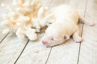 puppy69 week1 BowTiePomsky.com Bowtie Pomsky Puppy For Sale Husky Pomeranian Mini Dog Spokane WA Breeder Blue Eyes Pomskies web3