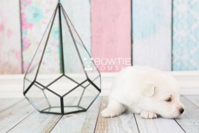 puppy69 week3 BowTiePomsky.com Bowtie Pomsky Puppy For Sale Husky Pomeranian Mini Dog Spokane WA Breeder Blue Eyes Pomskies web5