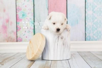 puppy69 week3 BowTiePomsky.com Bowtie Pomsky Puppy For Sale Husky Pomeranian Mini Dog Spokane WA Breeder Blue Eyes Pomskies web6