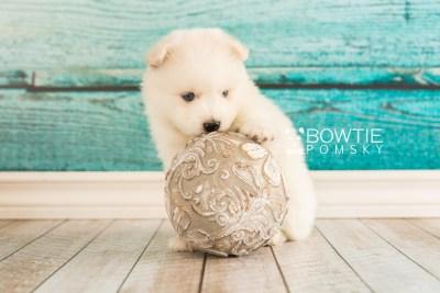 puppy69 week5 BowTiePomsky.com Bowtie Pomsky Puppy For Sale Husky Pomeranian Mini Dog Spokane WA Breeder Blue Eyes Pomskies web1