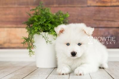 puppy69 week7 BowTiePomsky.com Bowtie Pomsky Puppy For Sale Husky Pomeranian Mini Dog Spokane WA Breeder Blue Eyes Pomskies web4