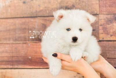 puppy69 week7 BowTiePomsky.com Bowtie Pomsky Puppy For Sale Husky Pomeranian Mini Dog Spokane WA Breeder Blue Eyes Pomskies web6