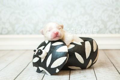 puppy70 week1 BowTiePomsky.com Bowtie Pomsky Puppy For Sale Husky Pomeranian Mini Dog Spokane WA Breeder Blue Eyes Pomskies web2