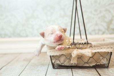 puppy70 week1 BowTiePomsky.com Bowtie Pomsky Puppy For Sale Husky Pomeranian Mini Dog Spokane WA Breeder Blue Eyes Pomskies web3
