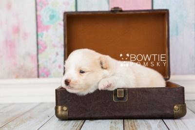 puppy70 week3 BowTiePomsky.com Bowtie Pomsky Puppy For Sale Husky Pomeranian Mini Dog Spokane WA Breeder Blue Eyes Pomskies web1