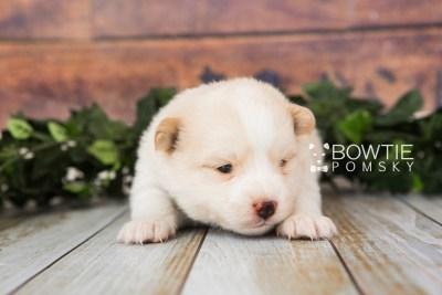 puppy70 week3 BowTiePomsky.com Bowtie Pomsky Puppy For Sale Husky Pomeranian Mini Dog Spokane WA Breeder Blue Eyes Pomskies web5