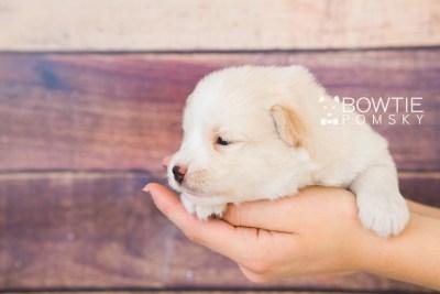 puppy70 week3 BowTiePomsky.com Bowtie Pomsky Puppy For Sale Husky Pomeranian Mini Dog Spokane WA Breeder Blue Eyes Pomskies web6