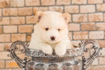 puppy70 week5 BowTiePomsky.com Bowtie Pomsky Puppy For Sale Husky Pomeranian Mini Dog Spokane WA Breeder Blue Eyes Pomskies web3