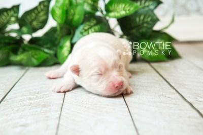 puppy72 week1 BowTiePomsky.com Bowtie Pomsky Puppy For Sale Husky Pomeranian Mini Dog Spokane WA Breeder Blue Eyes Pomskies web2