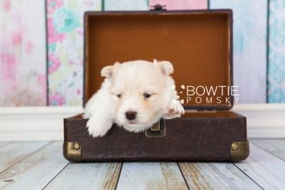 puppy72 week3 BowTiePomsky.com Bowtie Pomsky Puppy For Sale Husky Pomeranian Mini Dog Spokane WA Breeder Blue Eyes Pomskies web3