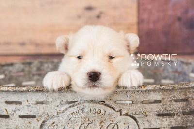 puppy72 week3 BowTiePomsky.com Bowtie Pomsky Puppy For Sale Husky Pomeranian Mini Dog Spokane WA Breeder Blue Eyes Pomskies web5