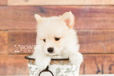 puppy72 week7 BowTiePomsky.com Bowtie Pomsky Puppy For Sale Husky Pomeranian Mini Dog Spokane WA Breeder Blue Eyes Pomskies web2