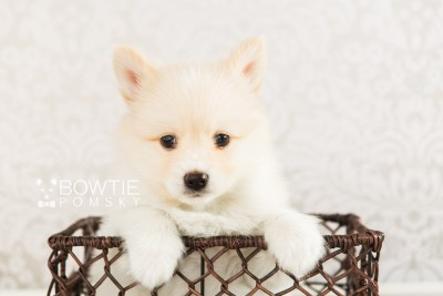 puppy72 week7 BowTiePomsky.com Bowtie Pomsky Puppy For Sale Husky Pomeranian Mini Dog Spokane WA Breeder Blue Eyes Pomskies web4