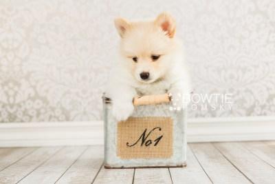 puppy72 week7 BowTiePomsky.com Bowtie Pomsky Puppy For Sale Husky Pomeranian Mini Dog Spokane WA Breeder Blue Eyes Pomskies web6