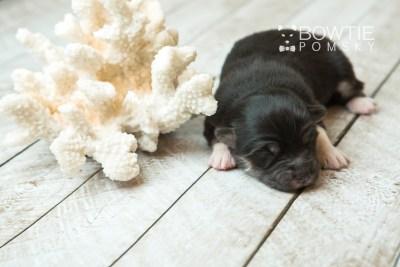 puppy73 week1 BowTiePomsky.com Bowtie Pomsky Puppy For Sale Husky Pomeranian Mini Dog Spokane WA Breeder Blue Eyes Pomskies web5