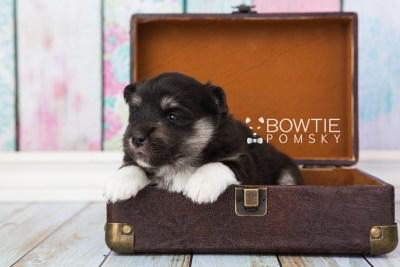puppy73 week3 BowTiePomsky.com Bowtie Pomsky Puppy For Sale Husky Pomeranian Mini Dog Spokane WA Breeder Blue Eyes Pomskies web6