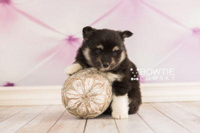 puppy73 week5 BowTiePomsky.com Bowtie Pomsky Puppy For Sale Husky Pomeranian Mini Dog Spokane WA Breeder Blue Eyes Pomskies web2