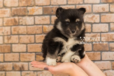 puppy73 week5 BowTiePomsky.com Bowtie Pomsky Puppy For Sale Husky Pomeranian Mini Dog Spokane WA Breeder Blue Eyes Pomskies web6