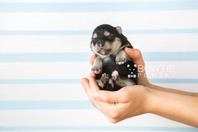 puppy74 week1 BowTiePomsky.com Bowtie Pomsky Puppy For Sale Husky Pomeranian Mini Dog Spokane WA Breeder Blue Eyes Pomskies web6