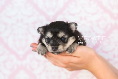 puppy74 week3 BowTiePomsky.com Bowtie Pomsky Puppy For Sale Husky Pomeranian Mini Dog Spokane WA Breeder Blue Eyes Pomskies web3