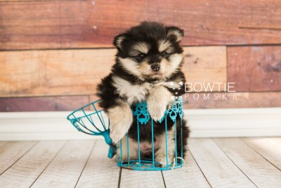 puppy74 week5 BowTiePomsky.com Bowtie Pomsky Puppy For Sale Husky Pomeranian Mini Dog Spokane WA Breeder Blue Eyes Pomskies web1