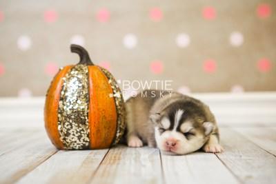 puppy75 week1 BowTiePomsky.com Bowtie Pomsky Puppy For Sale Husky Pomeranian Mini Dog Spokane WA Breeder Blue Eyes Pomskies Celebrity Puppy web5