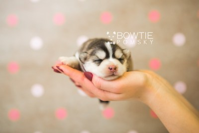 puppy75 week1 BowTiePomsky.com Bowtie Pomsky Puppy For Sale Husky Pomeranian Mini Dog Spokane WA Breeder Blue Eyes Pomskies Celebrity Puppy web6