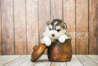 puppy75 week3 BowTiePomsky.com Bowtie Pomsky Puppy For Sale Husky Pomeranian Mini Dog Spokane WA Breeder Blue Eyes Pomskies Celebrity Puppy web3