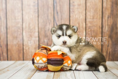 puppy75 week3 BowTiePomsky.com Bowtie Pomsky Puppy For Sale Husky Pomeranian Mini Dog Spokane WA Breeder Blue Eyes Pomskies Celebrity Puppy web4