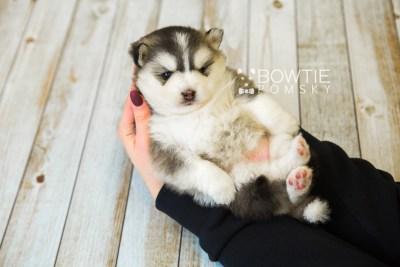 puppy75 week3 BowTiePomsky.com Bowtie Pomsky Puppy For Sale Husky Pomeranian Mini Dog Spokane WA Breeder Blue Eyes Pomskies Celebrity Puppy web7