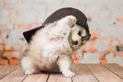 puppy75 week5 BowTiePomsky.com Bowtie Pomsky Puppy For Sale Husky Pomeranian Mini Dog Spokane WA Breeder Blue Eyes Pomskies Celebrity Puppy web2