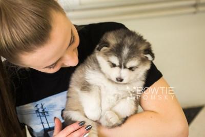 puppy75 week5 BowTiePomsky.com Bowtie Pomsky Puppy For Sale Husky Pomeranian Mini Dog Spokane WA Breeder Blue Eyes Pomskies Celebrity Puppy web3