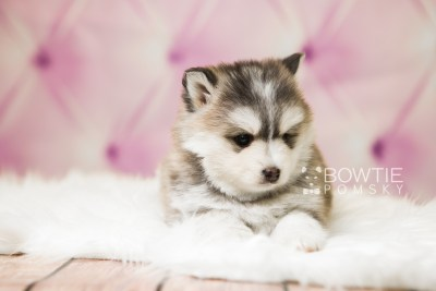puppy75 week5 BowTiePomsky.com Bowtie Pomsky Puppy For Sale Husky Pomeranian Mini Dog Spokane WA Breeder Blue Eyes Pomskies Celebrity Puppy web4