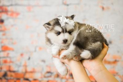 puppy75 week5 BowTiePomsky.com Bowtie Pomsky Puppy For Sale Husky Pomeranian Mini Dog Spokane WA Breeder Blue Eyes Pomskies Celebrity Puppy web7