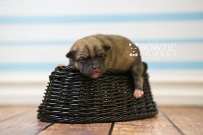 puppy76 week1 BowTiePomsky.com Bowtie Pomsky Puppy For Sale Husky Pomeranian Mini Dog Spokane WA Breeder Blue Eyes Pomskies Celebrity Puppy web4