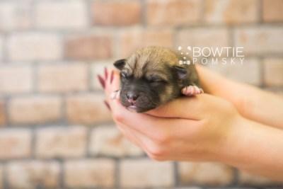 puppy76 week1 BowTiePomsky.com Bowtie Pomsky Puppy For Sale Husky Pomeranian Mini Dog Spokane WA Breeder Blue Eyes Pomskies Celebrity Puppy web6
