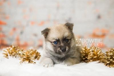 puppy76 week5 BowTiePomsky.com Bowtie Pomsky Puppy For Sale Husky Pomeranian Mini Dog Spokane WA Breeder Blue Eyes Pomskies Celebrity Puppy web1