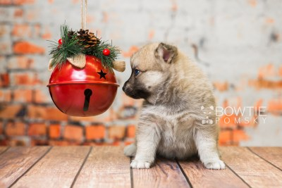 puppy76 week5 BowTiePomsky.com Bowtie Pomsky Puppy For Sale Husky Pomeranian Mini Dog Spokane WA Breeder Blue Eyes Pomskies Celebrity Puppy web5