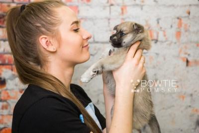 puppy76 week5 BowTiePomsky.com Bowtie Pomsky Puppy For Sale Husky Pomeranian Mini Dog Spokane WA Breeder Blue Eyes Pomskies Celebrity Puppy web6