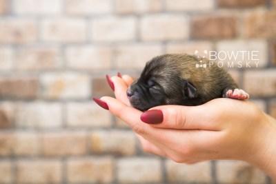 puppy77 week1 BowTiePomsky.com Bowtie Pomsky Puppy For Sale Husky Pomeranian Mini Dog Spokane WA Breeder Blue Eyes Pomskies Celebrity Puppy web2