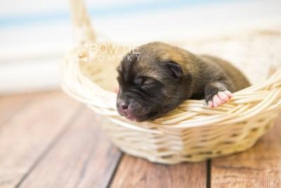puppy77 week1 BowTiePomsky.com Bowtie Pomsky Puppy For Sale Husky Pomeranian Mini Dog Spokane WA Breeder Blue Eyes Pomskies Celebrity Puppy web4