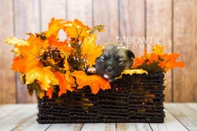 puppy77 week3 BowTiePomsky.com Bowtie Pomsky Puppy For Sale Husky Pomeranian Mini Dog Spokane WA Breeder Blue Eyes Pomskies Celebrity Puppy web2