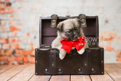 puppy77 week5 BowTiePomsky.com Bowtie Pomsky Puppy For Sale Husky Pomeranian Mini Dog Spokane WA Breeder Blue Eyes Pomskies Celebrity Puppy web1
