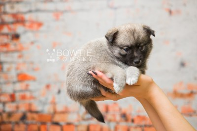 puppy77 week5 BowTiePomsky.com Bowtie Pomsky Puppy For Sale Husky Pomeranian Mini Dog Spokane WA Breeder Blue Eyes Pomskies Celebrity Puppy web3